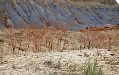 a fog of desert trumpets (Jeff Mitton) Tags: desert erosion desertplant deserttrumpet wondersofnature eriogonuminflatum mancosshale earthnaturelife