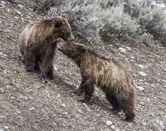 King of the Mountain (Patty Bauchman) Tags: bear nature wildlife wyoming bearcub grizzlybear grandtetonnationalpark oxbowbend grizzlybearcub