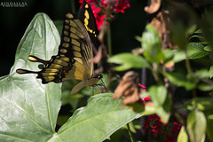 Fairy butterfly (Kindallas) Tags: plants plant leaves yellow butterfly leaf wings