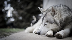(Katarina Drezga) Tags: pets dogs animals husky siberianhusky perros siberian dogphotography petphotography nikkor50mm18g nikond3100