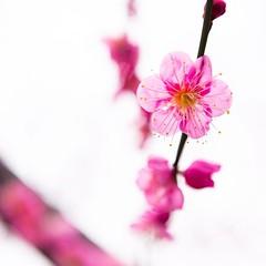 Plum by Ryosuke Yagi, on Flickr