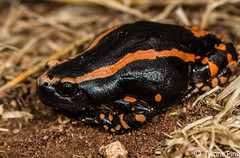 Phrynomantis bifasciatus - Red Banded Rubber Frog. Namboomspruit, Limpopo (Tyrone Ping) Tags: red macro up canon close rubber frog banded 100mmmacrof28 bifasciatus phrynomantis canon7d tyroneping wwwtyronepingcoza httpwwwtyronepingcozaamphibiansphrynomantisbifasciatus