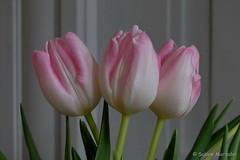 Frühlingstriumvirat in Rosa  gegen graues Wetter (Sockenhummel) Tags: pink flowers fuji tulips rosa finepix fujifilm blume prettyinpink x30 frühling tulpe bunchofflowers fujix30
