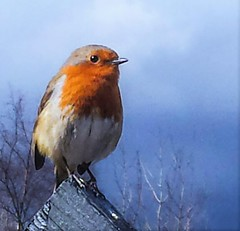 Red Breast Blue Sky