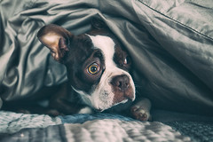 (Rebecca812) Tags: portrait dog pet cute look night canon puppy bostonterrier bed funny quilt startled seal peek covers disturbed afraid petportrait whatwasthat animalthemes eyebrowsraised rebecca812
