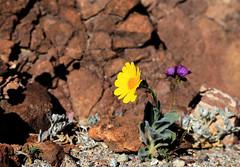 Death Valley Flowers, January 2016 (2) (Bob Palin) Tags: california flowers 15fav usa 1025fav 510fav canon rocks desert outdoor 100v10f deathvalley desertgold club100 100vistas instantfave canonef24105mmf4lisusm flowerpicturesnolimits thepoweroftheflower orig:file=2016012604393