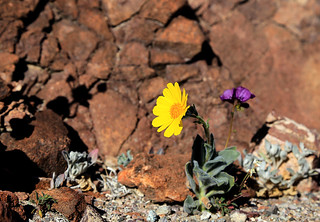 Death Valley Flowers, January 2016 (2)