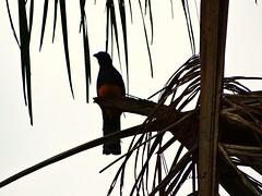 Trogon viridis (riaaz.kariem) Tags: birds whitetailed amazonian trogon viridis witstaart birdsofsurinam