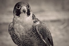 (jmadrid93) Tags: naturaleza nature animal fauna bio ave pico pjaro falco plumas halcn rapaz guila halcnperegrino