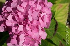 Tropical Pink Hydrangea (umijin) Tags: pink usa plant flower color hydrangea  guam hortensia ajisai guahan mangilao hydrangeamacrophylla tracheophyte canon500dcloseuplens territoryofguam latteheights vascularlandplant botanyterminology plantterms