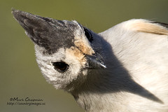 Black-crested Titmouse (countryphotoguy) Tags: art nature birds photography wildlife birding prints wildlifephotographer photograper wildlifeart markchapman blackcrestedtitmouse wildcreatures naturephotographer wildlifeprints countryimages countryphotoguycom