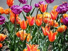 Tulips Galore (Stanley Zimny (Thank You for 16 Million views)) Tags: red flower color spring seasons tulip