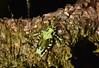 Lichen katydid Trachyzulpha sp. (Pasha Kirillov) Tags: sumatra indonesia orthoptera tettigoniidae kedah gunungleuser taxonomy:order=orthoptera geo:country=indonesia lichenkatydid trachyzulpha