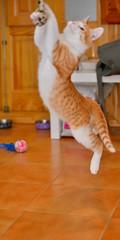 Gato Jinks  (14) (adopcionesfelinasvalencia) Tags: gato jinks
