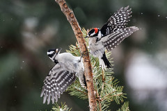 Tempers flare... (dbifulco) Tags: winter two male bird nature birds female yard downywoodpecker wildlife birch fighting behavior dowo