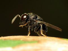 Tiny Perilampid Wasp (treegrow) Tags: nature insect washingtondc wasp rockcreekpark arthropoda hymenoptera lifeonearth parasiticwasp perilampidae perilampus canonpowershotsx40hs taxonomy:genus=perilampus