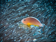 Dumnam New Year_69_2016 (Pop_narute) Tags: sea fish thailand underwater diving clownfish skunk th underwaterworld seaanemone andaman tg4 dumnam underwaterphography