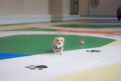 IMG_0446 (yukichinoko) Tags: dog dachshund 犬 kinako ダックスフント ダックスフンド きなこ
