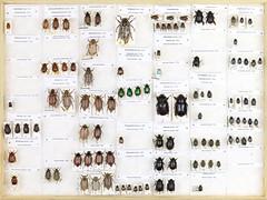 Coll. Owe Nodmar, Scarabaeoidea 5 (Biological museum, Lund University: Entomology) Tags: rutelinae melolonthinae cetoniinae dynastinae sericinae