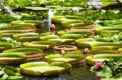 Lily Pads (robin denton) Tags: flowers gardens southafrica flora lily lillies lilypads botanicalgardens stellenbosch lilypond