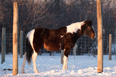 Milo - 4 (Bucky-D) Tags: winter horse snow cold milo quarterhorse paintedquarterhorse fz1000