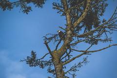watchin' (R A M A L A M ▲ S A M D O N G) Tags: washington unitedstates eagle bald bainbridgeisland