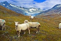 """Dessine moi un mouton / draw me a sheep "" Ch. 2. Walking together.   .No. 2026. (Izakigur) Tags: alps yellow alpes liberty switzerland flickr sheep feel glacier alpi wallis hdr mouton lepetitprince shepard ch valais thelittleprince laine furka furkapass ilpiccoloprincipe lasuisse dessinemoiunmouton kantonwallis nikond700 nikkor2470f28 izakigur cantonduvalais laventuresuisse"