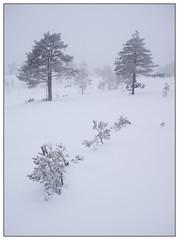 Winter trees (Georg Engh) Tags: landscapesshotinportraitformat toplandsheia