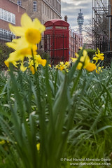 Yellow Daffodils in Regent Square, London