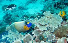 Cliffhanger, Filitheyo - Maldives - Lieux, Filitheyo - Maldives - Site, Maldives - Lieux, Maldives - Site 1602.jpg (hgh68) Tags: site maldives plonge cliffhanger lieux filitheyo