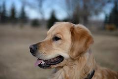 Roper (Troy Bourque) Tags: dog canada golden headshot retriever alberta roper