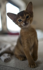 Maias Boy (peter_hasselbom) Tags: cats cat kitten 28mm naturallight kittens abyssinian 7weeksold