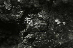 Shadowy Surveyor (Eric Gitonga) Tags: macro male nature animal female danger mouth eyes waiting legs kenya head web arachnid sting nairobi spin egg grow silk kingdom sperm karen hidden camouflage exoskeleton segment hunter prey fangs predator stinger moult carnivorous stalking arthropods animalia arthropoda spinner eightlegs develop venom misunderstood spun abdomen segmented fertilization compoundeye 8legs phylum exuvia instar spinneret simpleeye ericgitonga