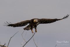 Juvenile Bald Eagle struggles to land - 15 of 27