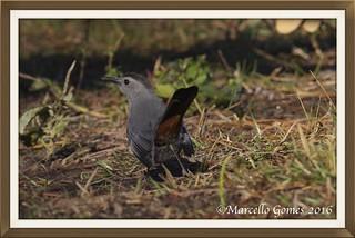 Gray Catbird (Dumetella carolinensis) GRCA -