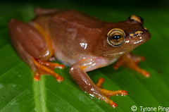 Hyperolious argus - Argus Reed Frog. (Tyrone Ping) Tags: reed canon wildlife frog 7d frogs l series amphibians argus wildanimals hyperolius 100mmmacrof28 wildherps tyroneping wwwtyronepingcoza