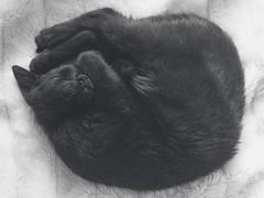The Leopold (BalthasarLeopold) Tags: pet cats pets animal animals cat blackcat mammal kitten feline kittens felines blackcats indoorcat