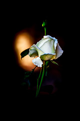 White Rose reflecting the surounding Colors (Drachenfanger) Tags: california white black colors rose unitedstates ojai foreground backgroud kunstwelt photosophie drachenfanger
