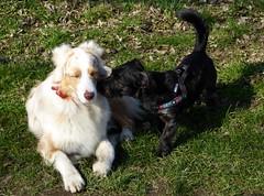 in love  (BrigitteE1) Tags: dog pet green love animal spring meadow buddy bestfriend inlove mrb yorkshiremix buddylein lovethick