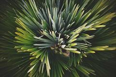 European Fan Palm (Torquay Palms) Tags: park uk england west english beautiful abbey gardens canon eos bay fan riviera european britain south united country great kingdom palm m devon gb tor torquay ef westcountry devons the torbay chamaerops