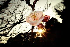 Japanese Apricot Flower, backlight (cat_in_136) Tags: tokyo japaneseapricot imperialpalaceeastgarden