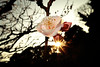 Japanese Apricot Flower, backlight (cat_in_136) Tags: japaneseapricot 豊後梅 imperialpalaceeastgarden 皇居東御苑 tokyo flower