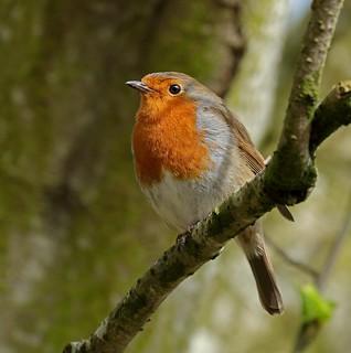 Robin [Explore] (11405)