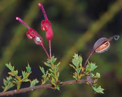 Grevillea asteriscosa, Kings Park, Perth, WA, 24/03/16 (Russell Cumming) Tags: plant perth kingspark westernaustralia grevillea proteaceae grevilleaasteriscosa