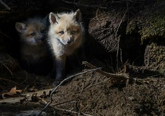 Red Fox Cubs (ChristinaAnne.M) Tags: canada cute nature animal animals outdoors nikon raw quebec montreal wildlife sigma fox cubs wildlifephotographer naturephotography redfox foxcub wildlifephotography naturephotographer animalpics renardroux d7000 nikond7000