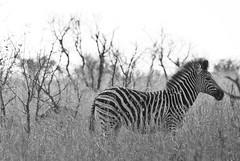 cape mountain zebra (Equus zebra zebra) (delimaaaaaaaaa) Tags: africa trip southafrica safari viagem krugerpark reserva gamereserve frica safri fricadosul