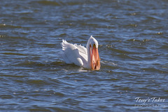 American White Pelican fishing sequence - 11 of 20