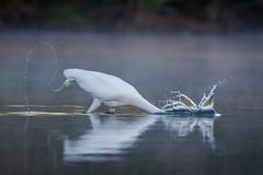 Tailspin (gseloff) Tags: bird texas feeding wildlife pasadena greategret kayakphotography gseloff horsepenbayou