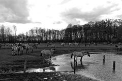Wild Horses in black-and-white - Bathing - 2016-003_Web (berni.radke) Tags: horse pony bathing herd nordrheinwestfalen colt wildhorses foal fohlen croy herde dlmen feralhorses wildpferdebahn merfelderbruch merfeld przewalskipferd wildpferde dlmenerwildpferd equusferus dlmenerpferd dlmenpony herzogvoncroy wildhorsetrack