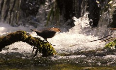 diving in at the deep end (jeannie debs) Tags: nature water river countryside waterfall bokeh diving sparkle dipper